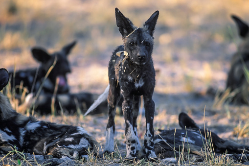 Teenager「African wild dog, Moremi Game Reserve」:スマホ壁紙(14)
