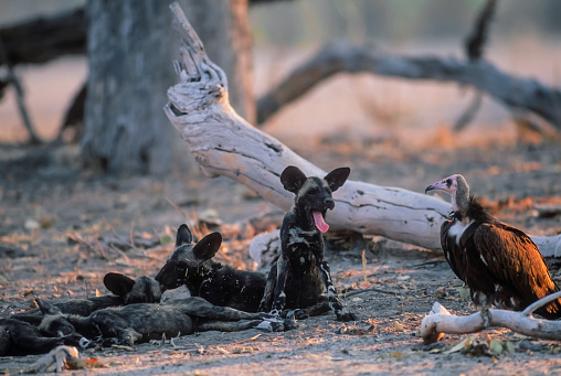 Teenager「African wild dog, Moremi Game Reserve」:スマホ壁紙(16)