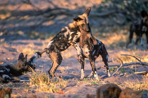Teenager「African wild dog, Moremi Game Reserve」:スマホ壁紙(4)