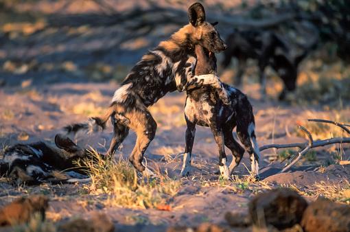 Teenager「African wild dog, Moremi Game Reserve」:スマホ壁紙(0)
