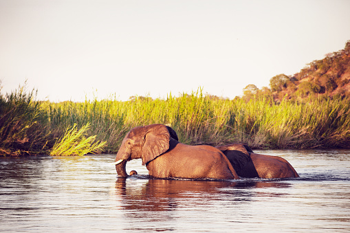 The Nature Conservancy「African Wild Elephants at Zambezi National Park」:スマホ壁紙(3)