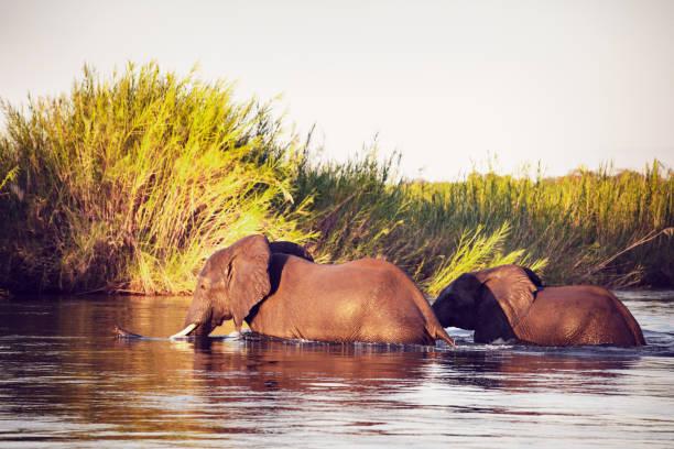 African Wild Elephants at Zambezi National Park:スマホ壁紙(壁紙.com)