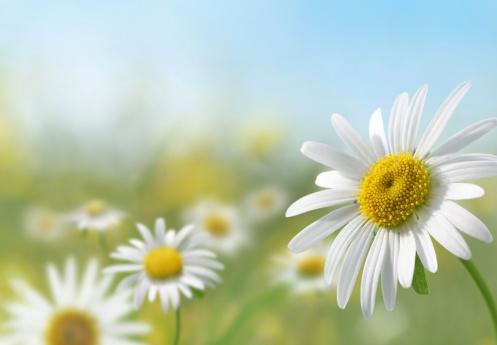 Flowerbed「Daisy Meadow」:スマホ壁紙(19)