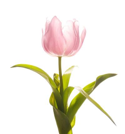 チューリップ「ピンクのチューリップの花」:スマホ壁紙(6)