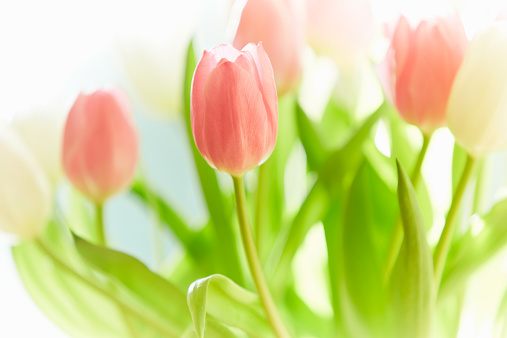 チューリップ「Tulip Detail」:スマホ壁紙(16)