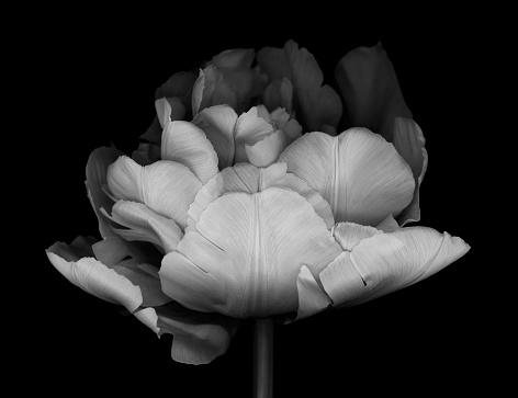 Black Color「XXXL: Monocrhome Double Tulip」:スマホ壁紙(11)