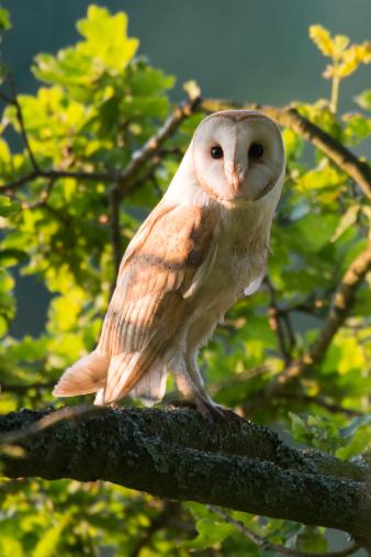 Oak Woodland「Barn owl in oak tree (wild) 」:スマホ壁紙(19)