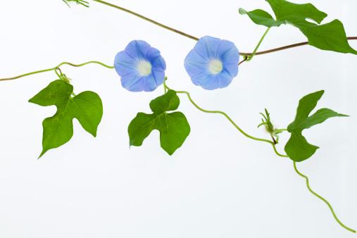 朝顔「Blue Morning Glory」:スマホ壁紙(15)
