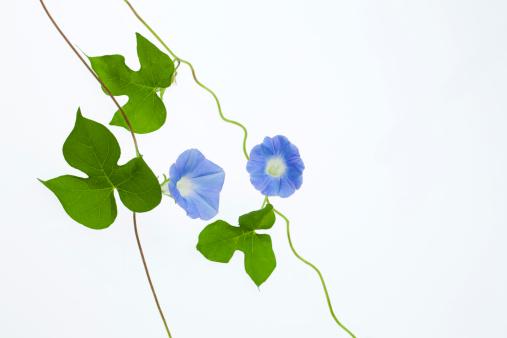 朝顔「Blue Morning Glory」:スマホ壁紙(2)