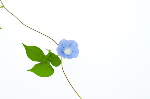 朝顔「Blue Morning Glory」:スマホ壁紙(9)