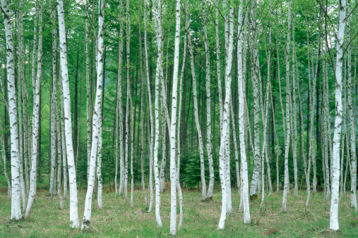 Woodland「White birch trees in a forest」:スマホ壁紙(15)