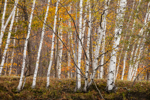 サトウカエデ「White Birch trees and Sugar Maple trees in the Fall in Westminster, Vermont.」:スマホ壁紙(11)