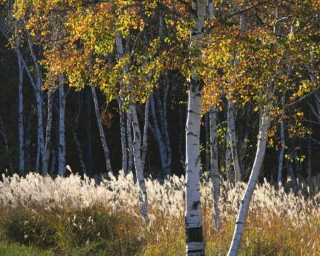 Japanese pampas grass「White birch trees and Japanese pampas grass, Sakuho-Machi, Nagano Prefecture, Japan」:スマホ壁紙(8)