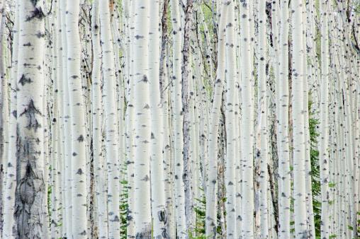 Canadian Rockies「White birch tree forest」:スマホ壁紙(2)