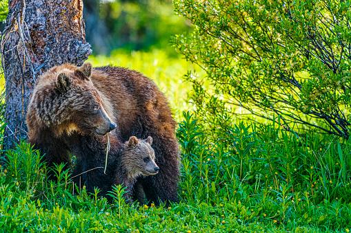 Bear Cub「Banff National Park in Alberta Canada」:スマホ壁紙(2)
