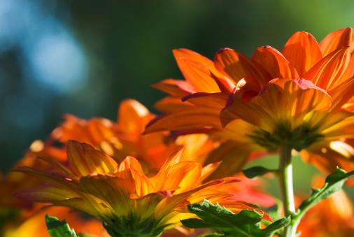 Insecticide「Pelee Chrysanthemum Mums - II」:スマホ壁紙(4)