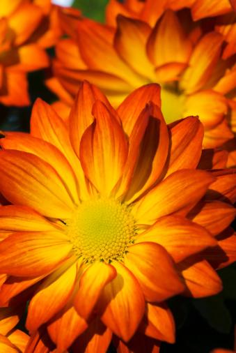 Insecticide「Pelee Chrysanthemum Mums - I」:スマホ壁紙(11)