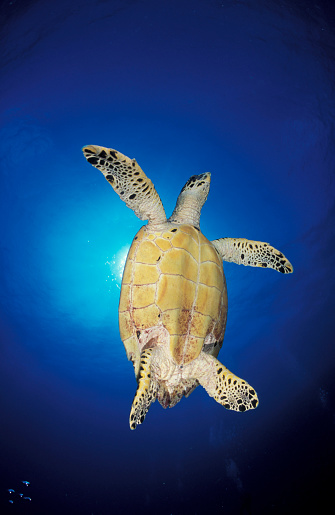 Glider「Underside view of a hawksbill sea turtle against sunburst, Maldives.」:スマホ壁紙(3)