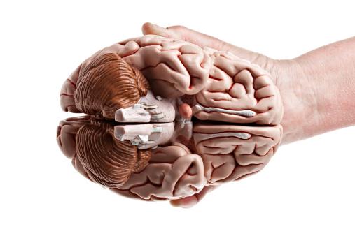 Cerebellum「Underside View Of A Brain」:スマホ壁紙(16)
