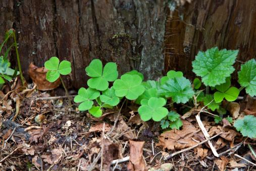Redwood Sorrel「Oregon Oxalis plants」:スマホ壁紙(6)