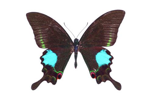 Animal Wing「Papilio butterfly」:スマホ壁紙(11)