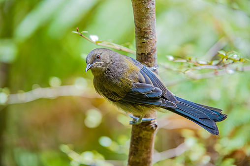 Māori「The New Zealand Bellbird (Anthornis melanura), also known by its Māori names Korimako or Makomako, is a passerine bird endemic to New Zealand. It has greenish colouration and is the only living member of the genus Anthornis.」:スマホ壁紙(0)