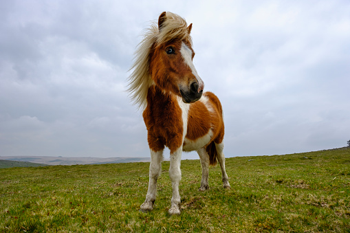 Horse「UK, Devon, Dartmoor pony at Dartmoor National Park」:スマホ壁紙(15)