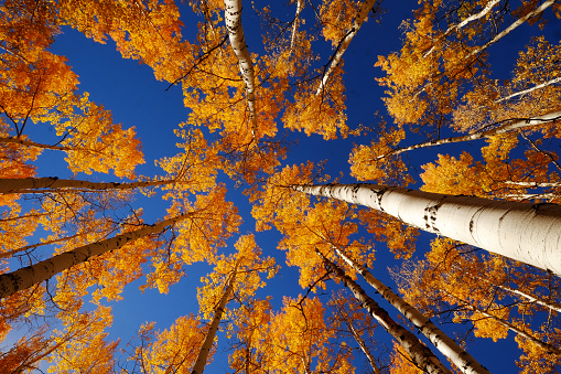 Aspen Tree「Fall season colors in Colorado」:スマホ壁紙(10)