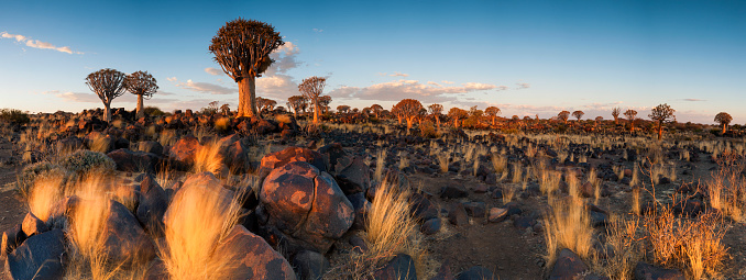 Quiver Tree「Panoramic Landscape Photo of the Last Golden Light over the Quiver Tree Forest, Keetmanshoop, Namibia」:スマホ壁紙(7)