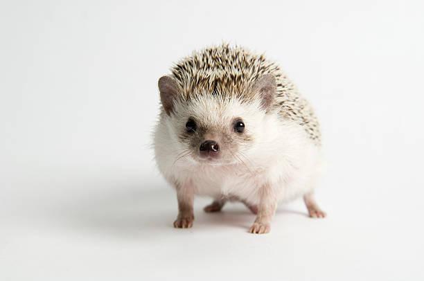 Strolling Hedgehog:スマホ壁紙(壁紙.com)