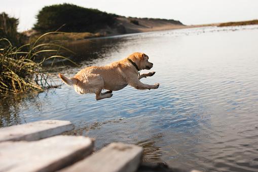 Carefree「Labrador jumping into river」:スマホ壁紙(15)