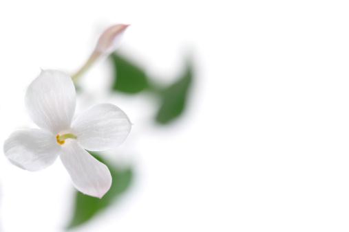 April「Jasmine Flowers」:スマホ壁紙(18)