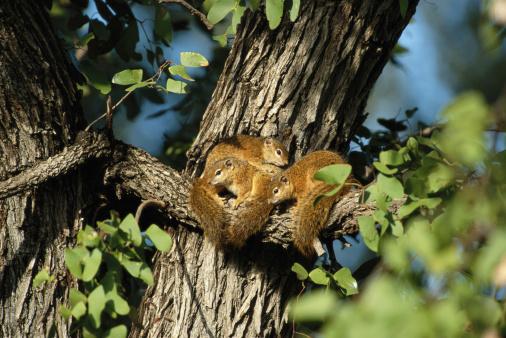 Squirrel「Tree squirrels (Paraxerus Cepapi)」:スマホ壁紙(1)