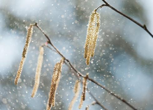 Pollen「Hazel pollen」:スマホ壁紙(16)