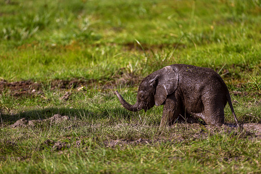 Elephant「Infant elephant is playing in mud」:スマホ壁紙(8)