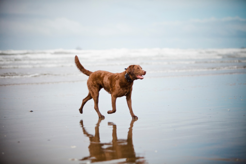 Cannon Beach「A dog walks across a sandy beach.」:スマホ壁紙(6)