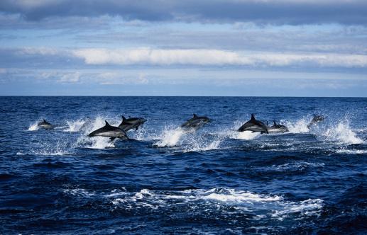 Carefree「striped dolphin,stenella coeruleoalba, porpoising, azores, portugal」:スマホ壁紙(2)