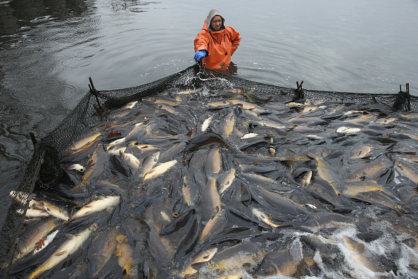 Carp「Fisheries Harvest Christmas Carp」:写真・画像(1)[壁紙.com]