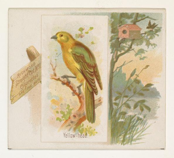 Songbird「Yellow-Head」:写真・画像(1)[壁紙.com]