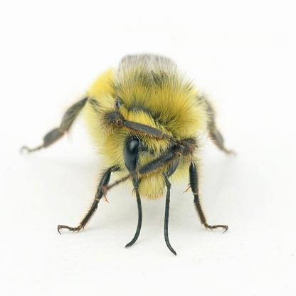Grooming - Animal Behavior「Yellow-head Bumblebee (Bombus flavifrons) Grooming」:スマホ壁紙(5)