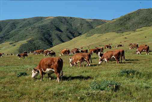 Big Sur「Hereford Cows and Calves Grazing by Hills」:スマホ壁紙(7)