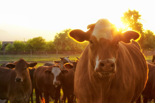 Pasture「Hereford Cows in Pasture at Sunset」:スマホ壁紙(1)