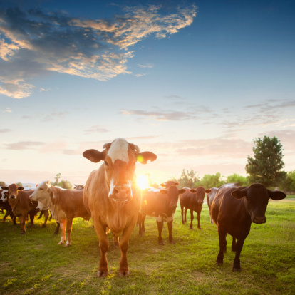 Cow「Hereford Cows in Pasture at Sunset」:スマホ壁紙(19)