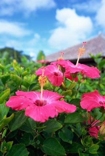 ハイビスカス「Hibiscus flower in Okinawa Prefecture, Japan」:スマホ壁紙(0)
