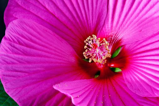 ハイビスカス「Hibiscus flower, extreme close up」:スマホ壁紙(2)
