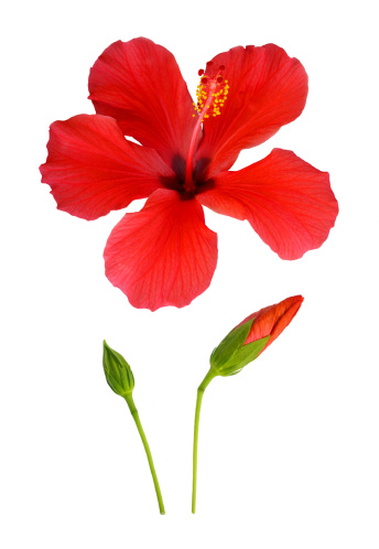 Haslemere「Hibiscus flower from bud to full bloom.」:スマホ壁紙(15)