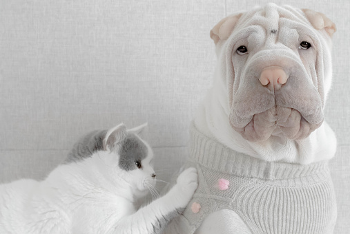 Pet Clothing「Cat touching a Shar-pei puppy dog wearing a sweater」:スマホ壁紙(6)
