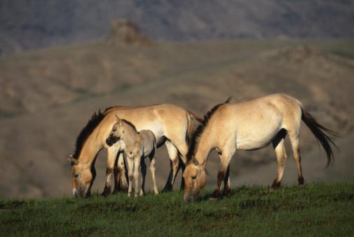 Horse「Przewalski's wild horses (Equus przewalskii) grazing, Mongolia」:スマホ壁紙(0)