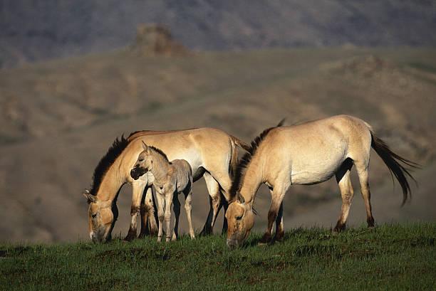 Przewalski's wild horses (Equus przewalskii) grazing, Mongolia:スマホ壁紙(壁紙.com)