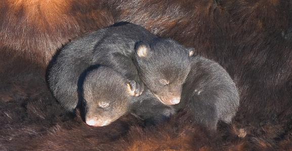 Bear Cub「Infant Black Bear Cubs」:スマホ壁紙(10)